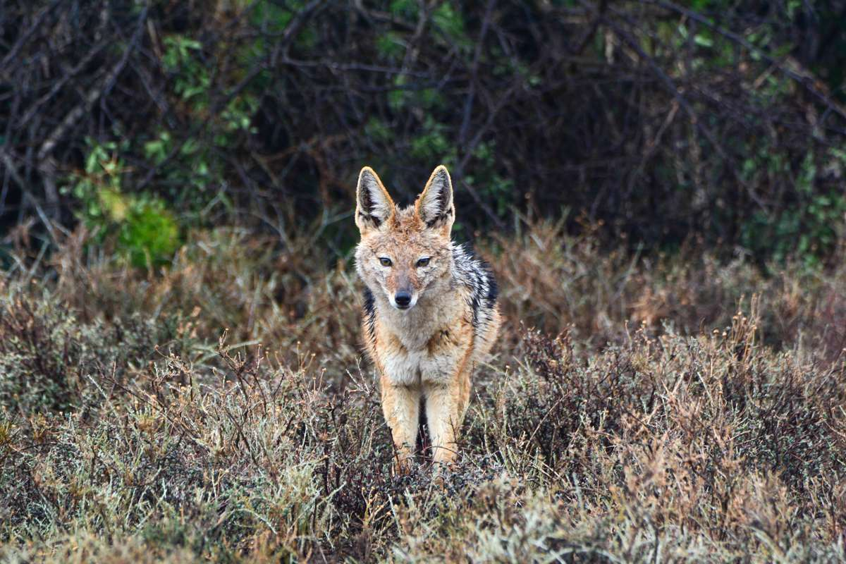 Black-backed jackal in Karoo National Park