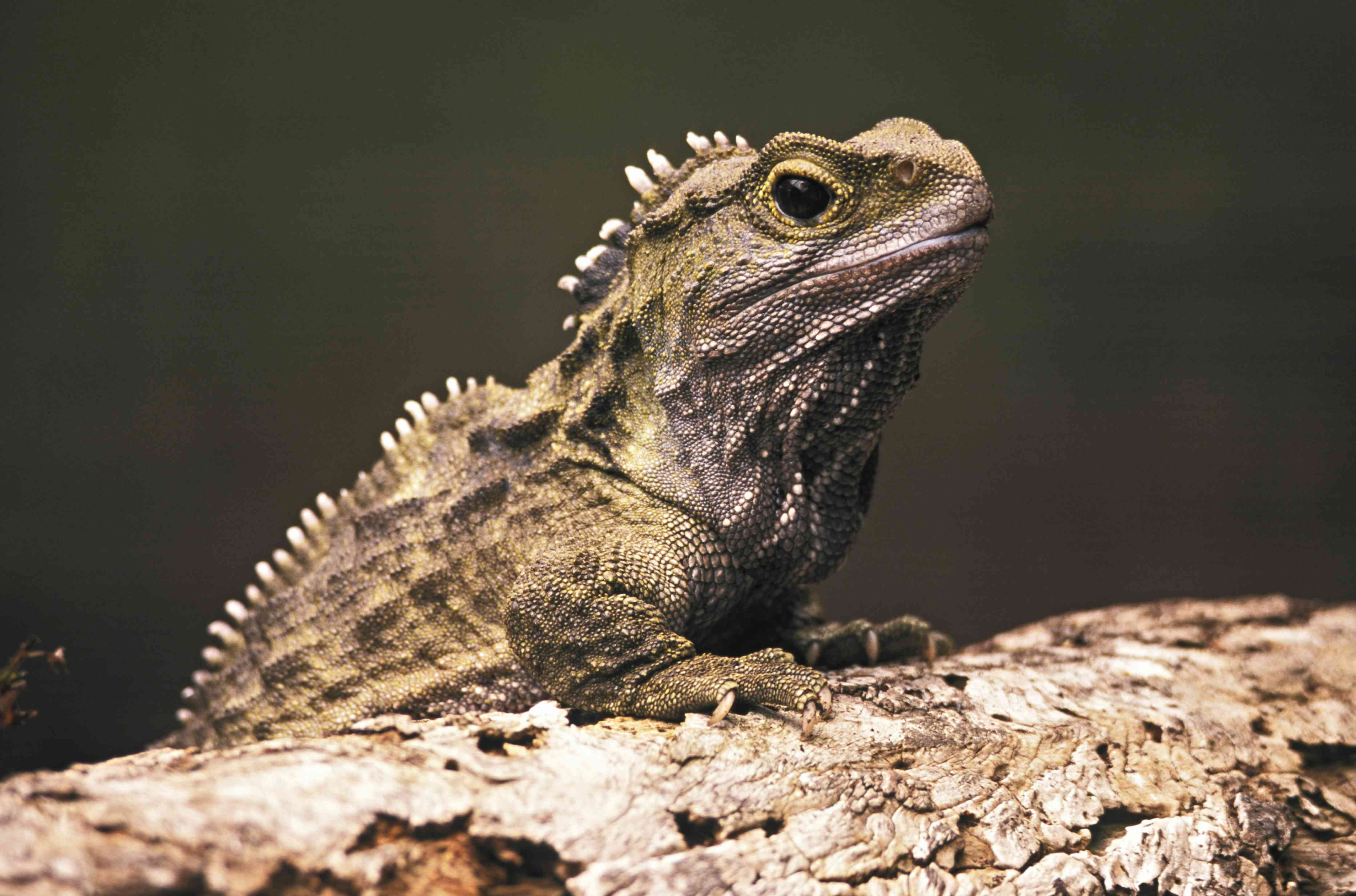 Tuatara , primitive endemic reptile; Stephens Island, New Zealand Only member of the order RHYNCHOCEPHALIA, very similar to species known from 200 million years ago