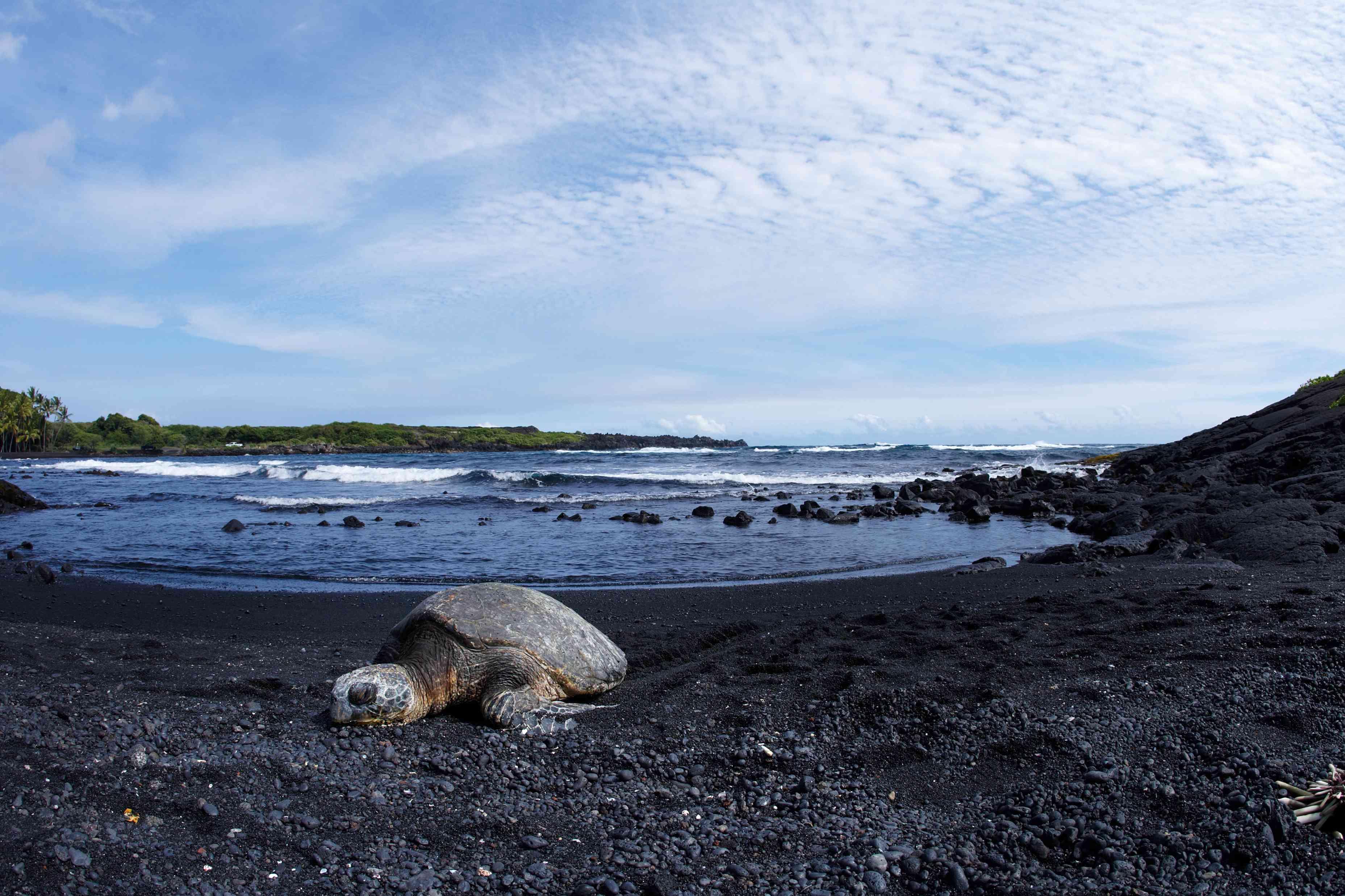 Honu on Punaluu Black Sand Beach on Hawaii Island
