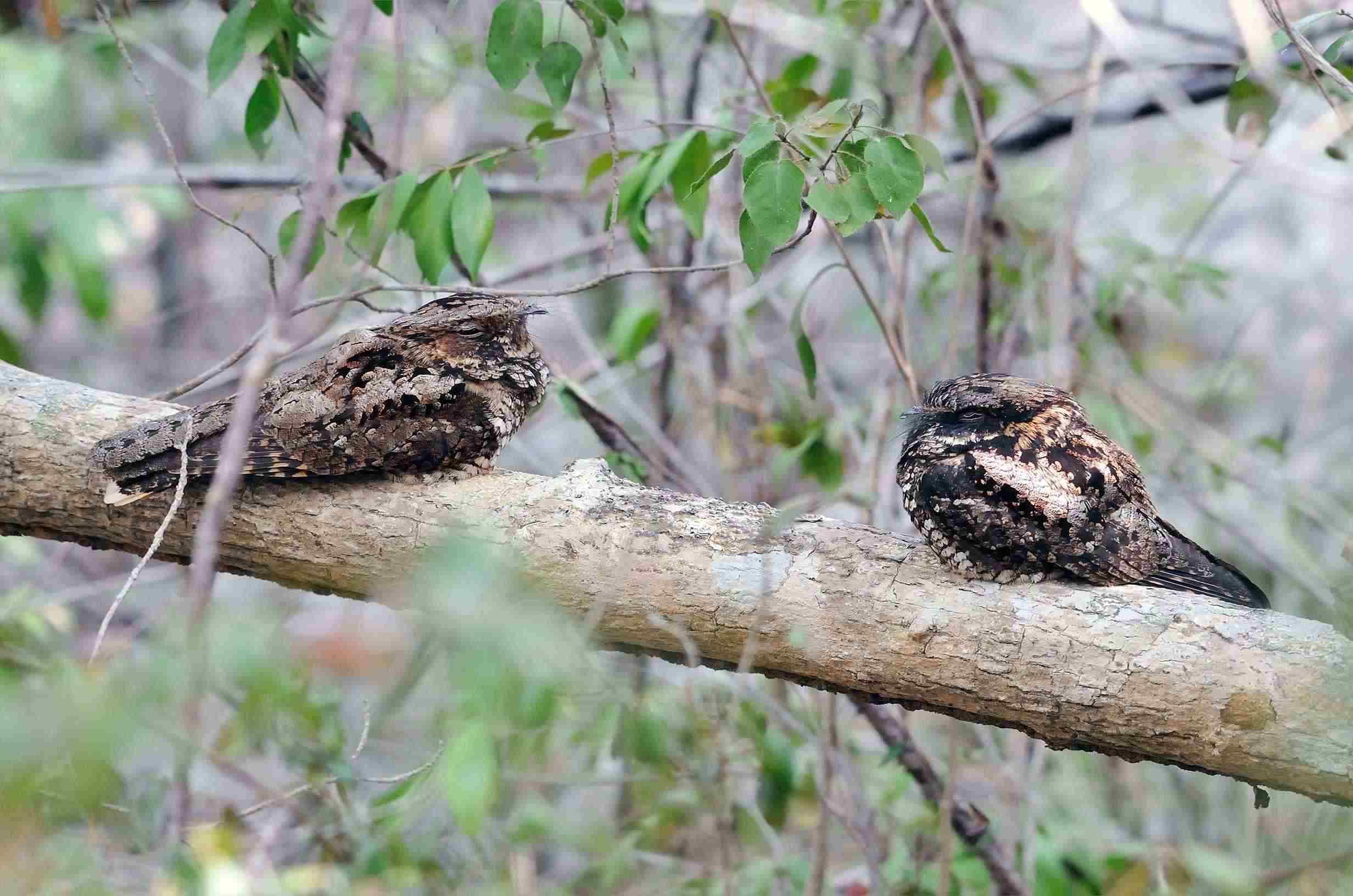 Endangered Puerto Rican nightjars