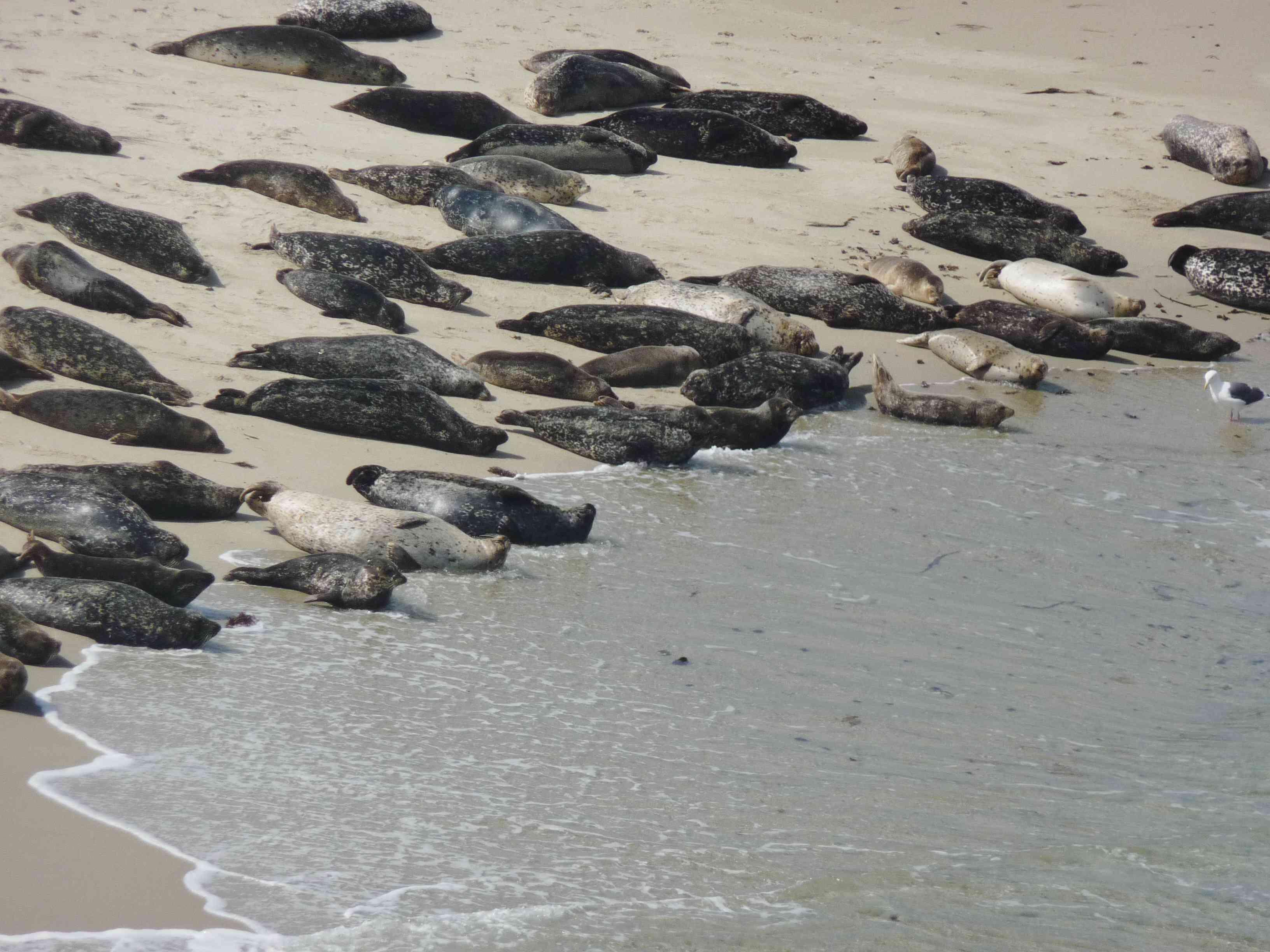 Sea Lions on the beach in La Jolla cove