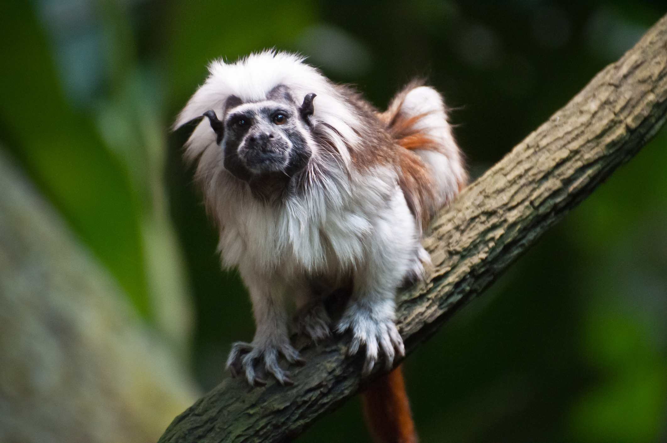 Cotton-top Tamarin, in the Tropical Rainforest zone at Montreal's Biodôme