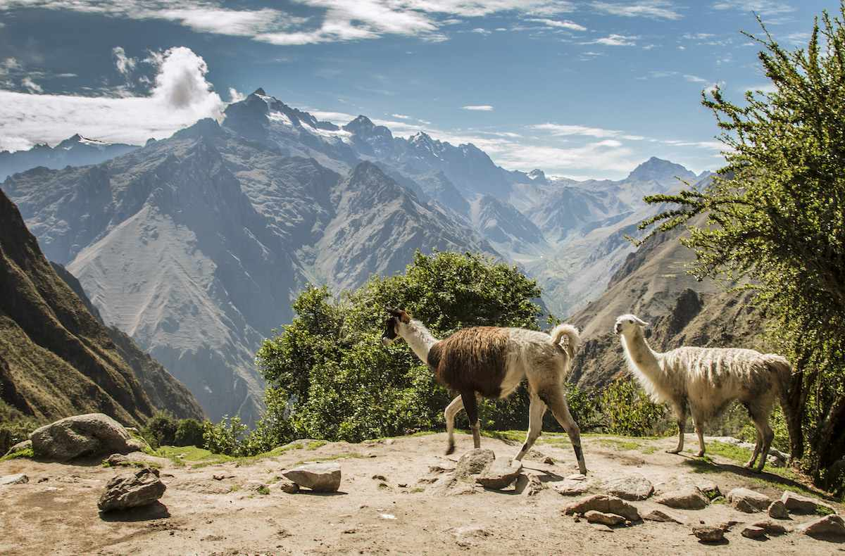 Two llamas walk int he foreground with the mountains stretching into the distance