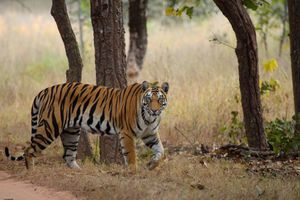 Tiger at Bandhavgarh National Park.