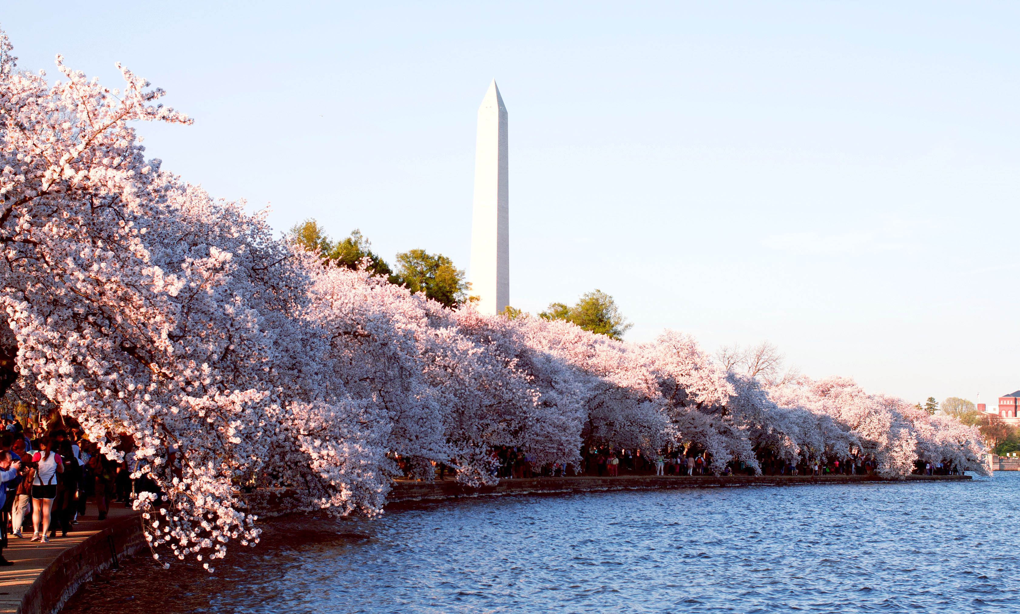Cherry Blossom with Washington Monument