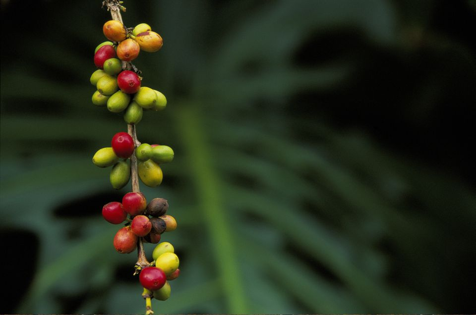 Kona coffee beans growing on tree, close-up