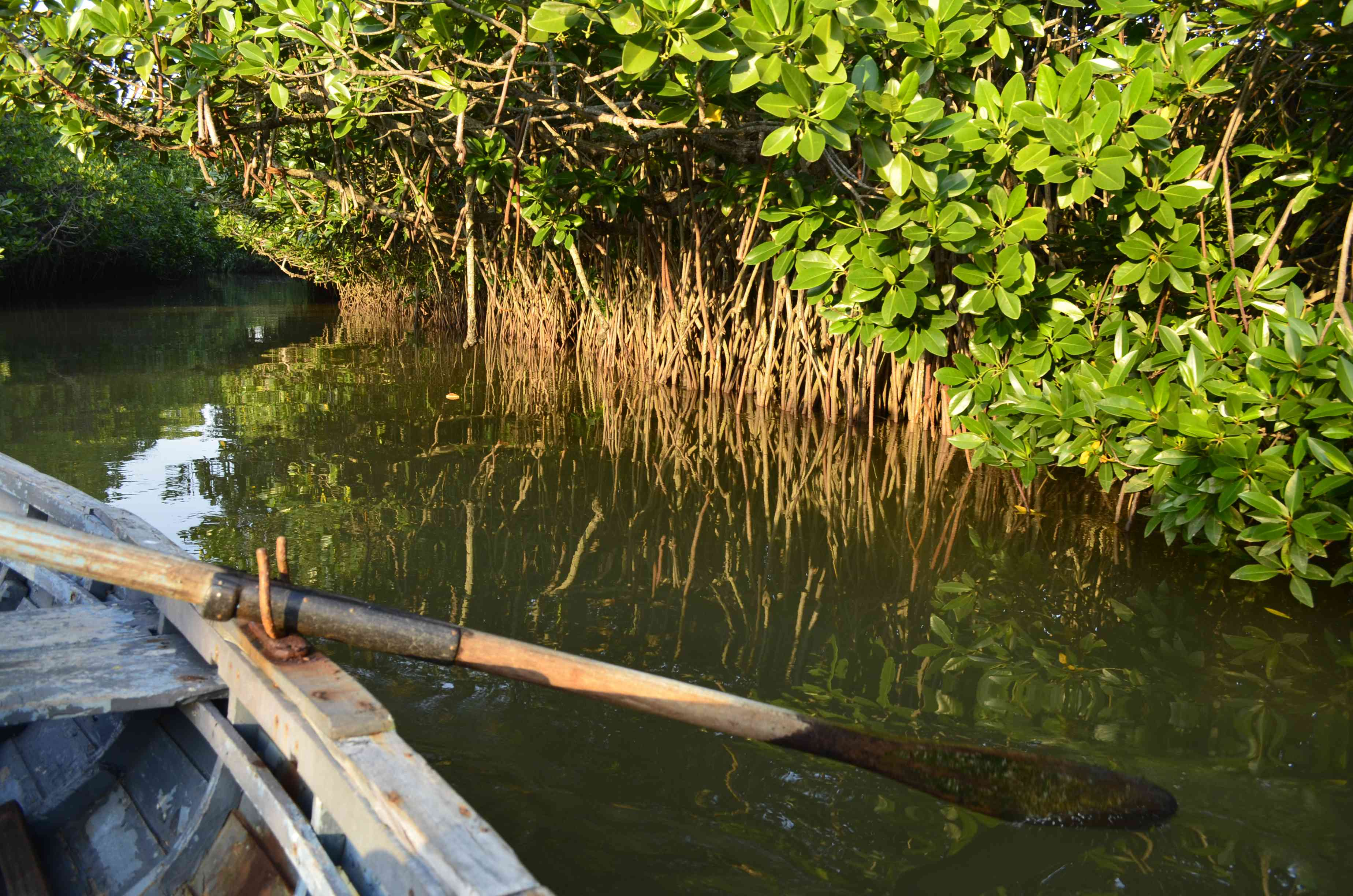 Exploring the Pichavaram mangrove forest by paddle boat.