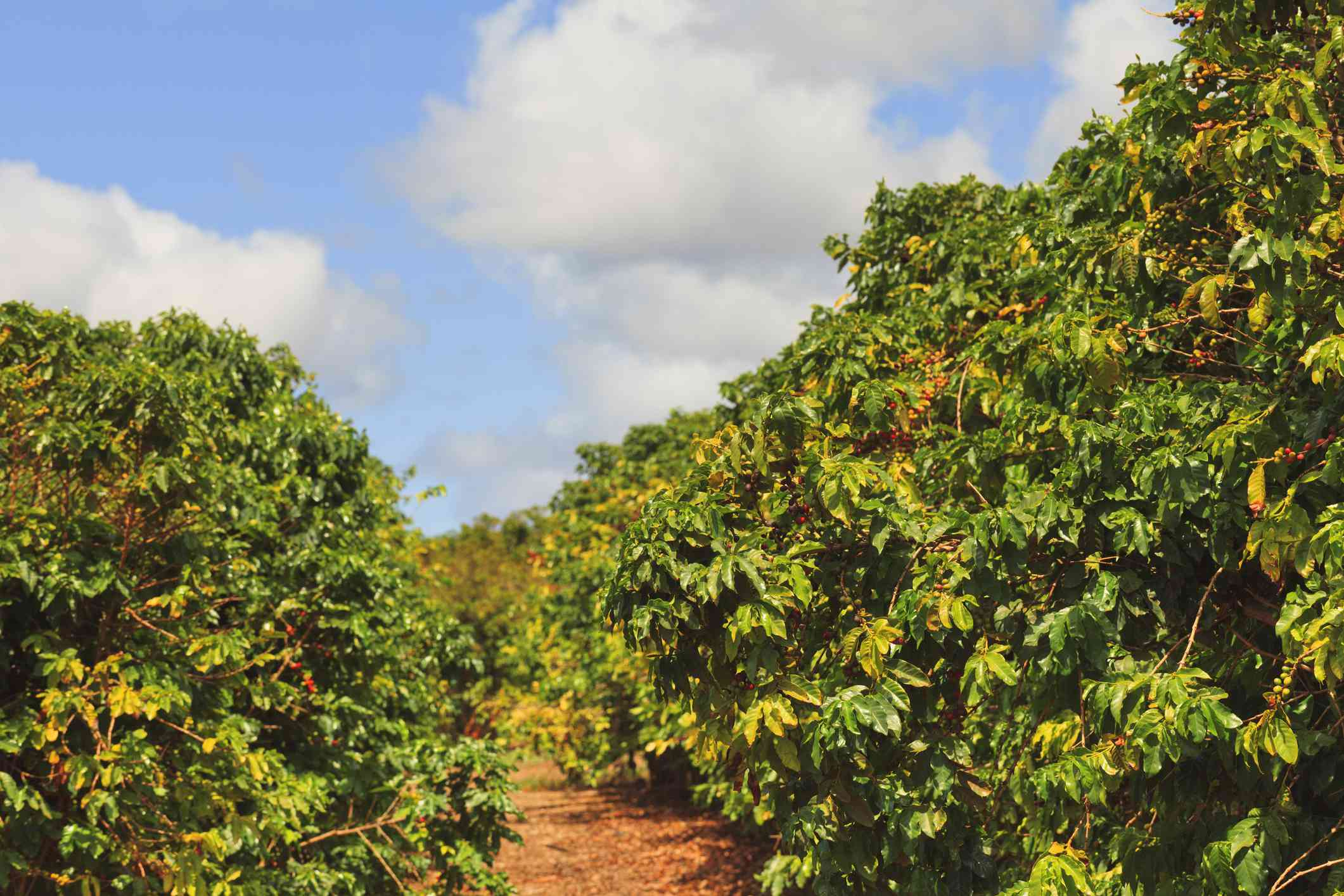 Row of coffee trees in Hawaii