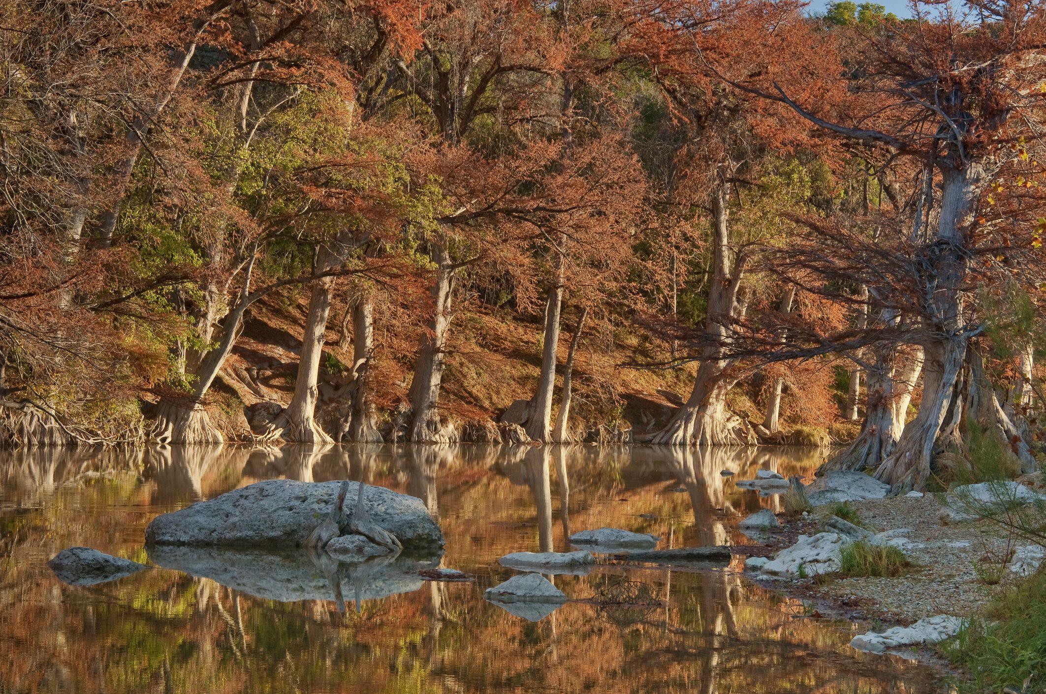 Cipreses calvos a lo largo del río, en el follaje de otoño, Guadalupe River State Park cerca de Bergheim, Texas, EE. UU.