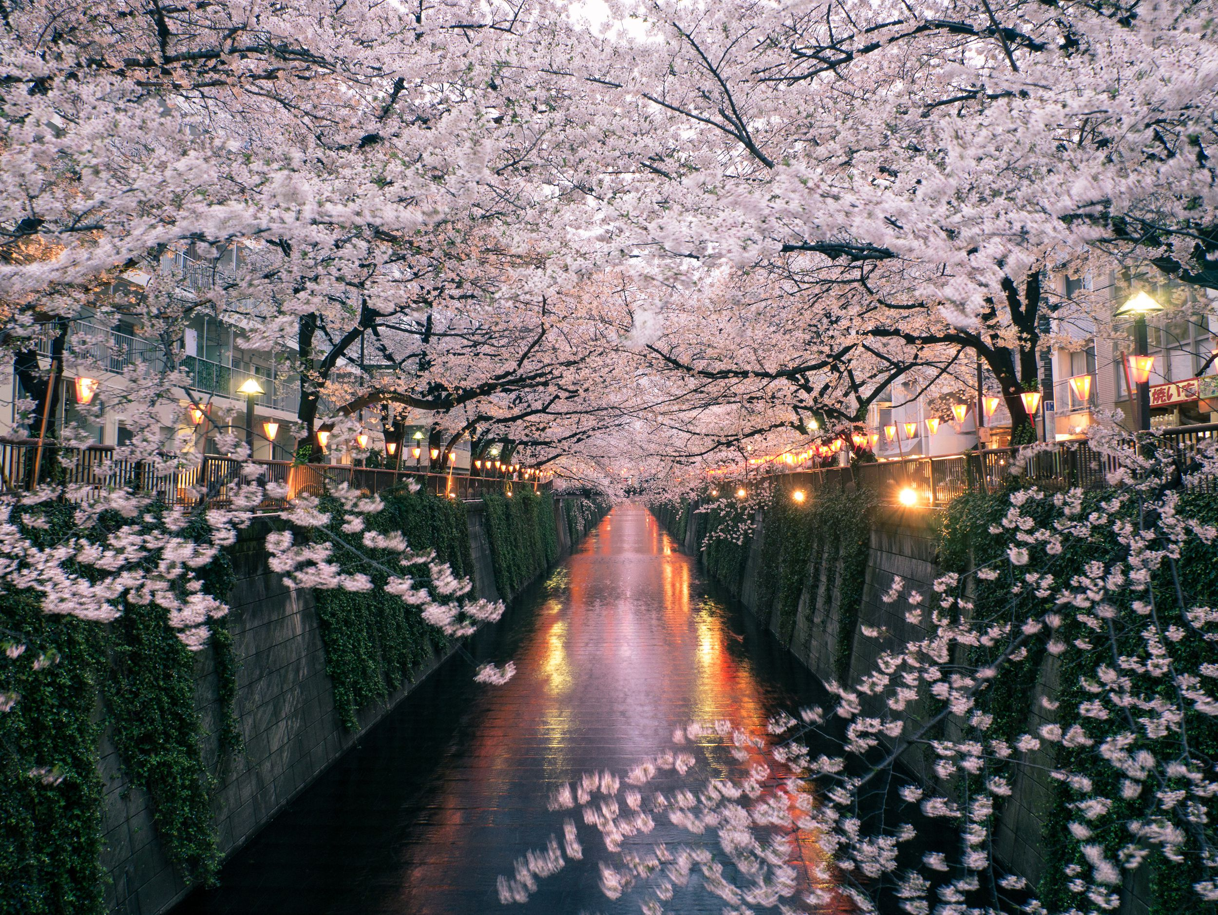 cad8fb8f5e90c The Facts About Japan's Cherry Blossom Festivals