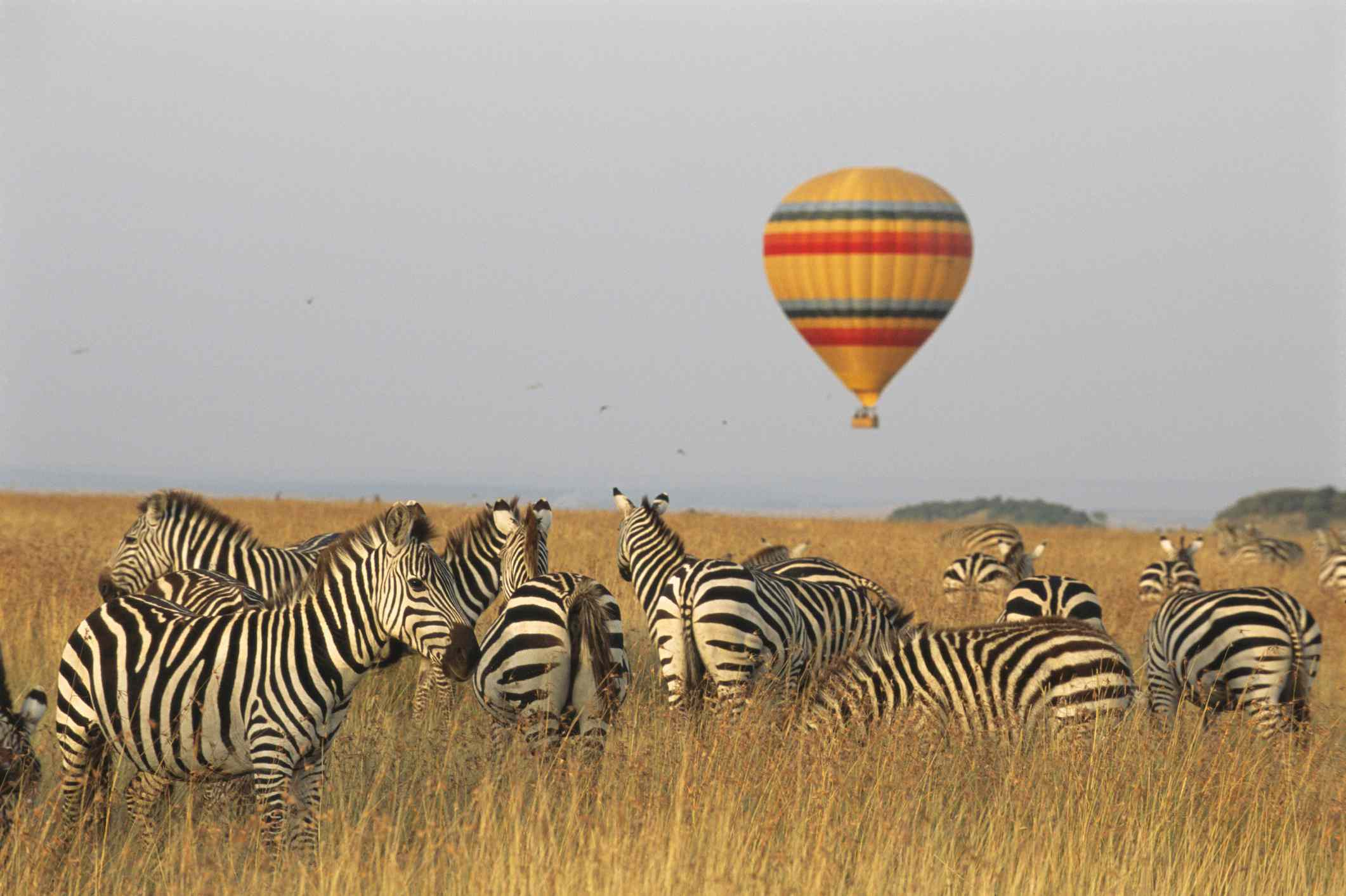 Common zebras and hot air balloon safari