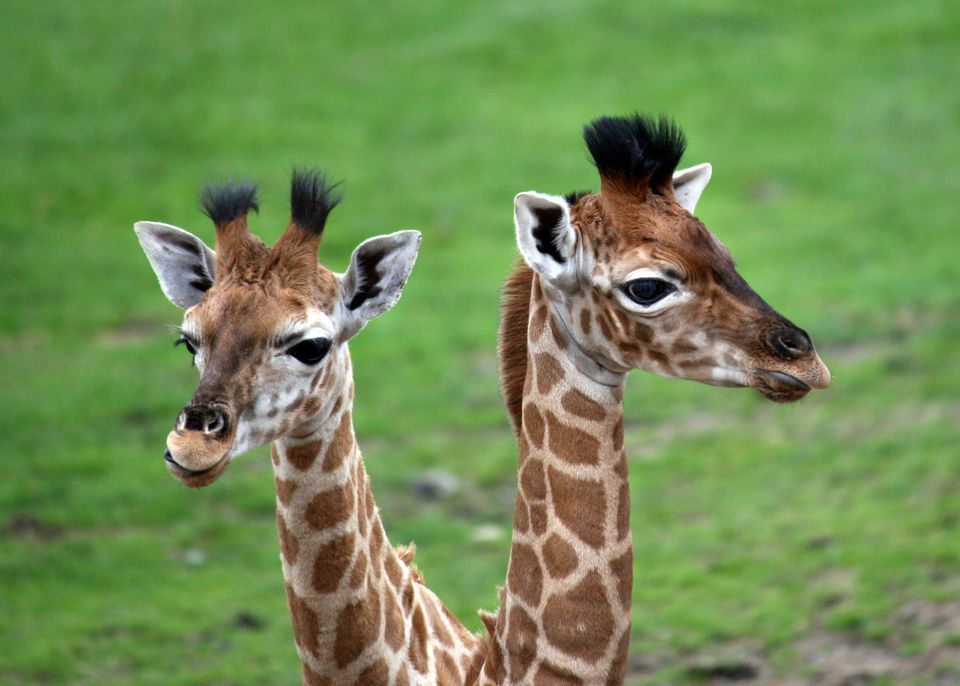 Two baby Giraffes at Longleat Safari Park