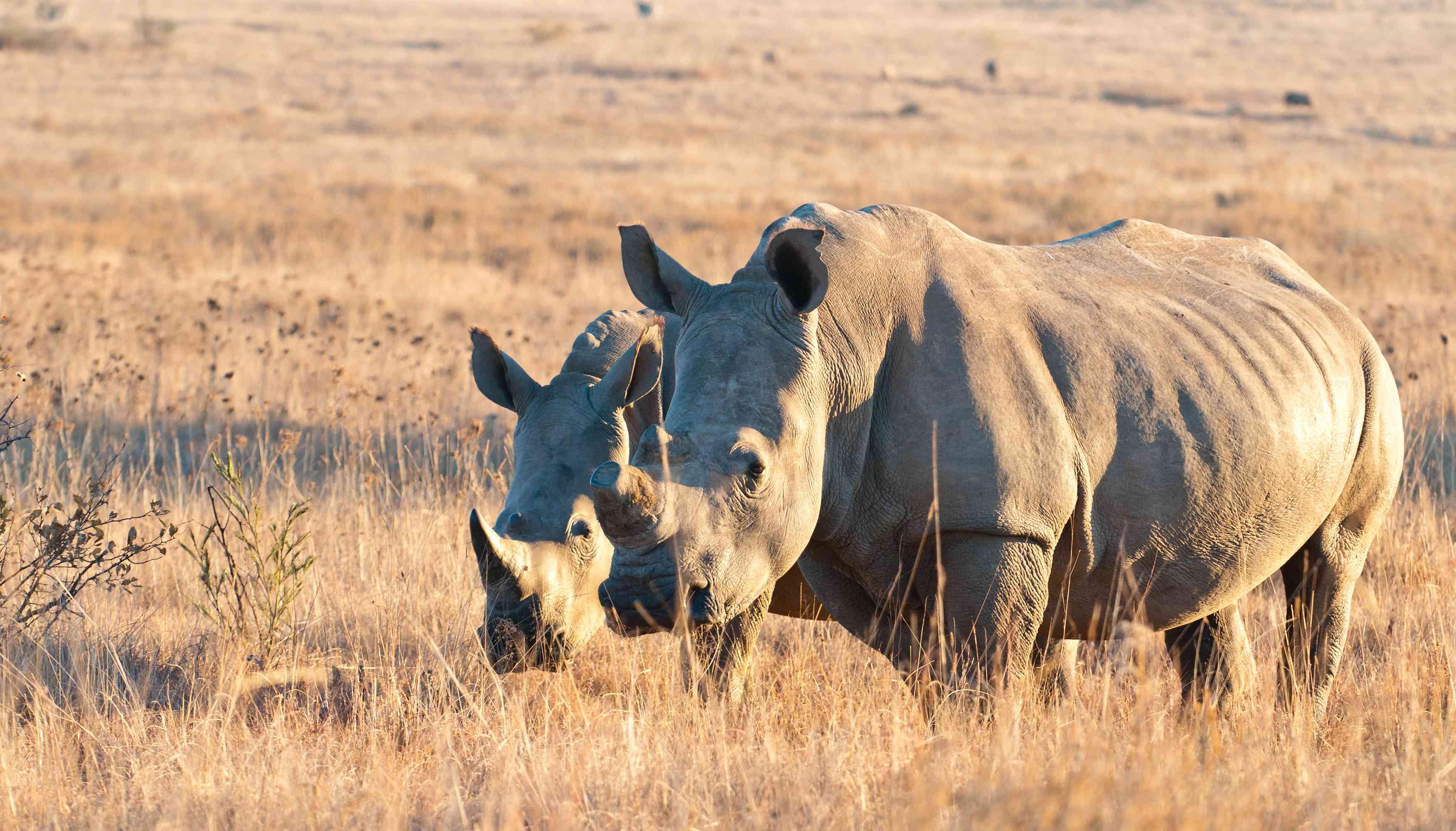 A pair of white rhinos, Gauteng