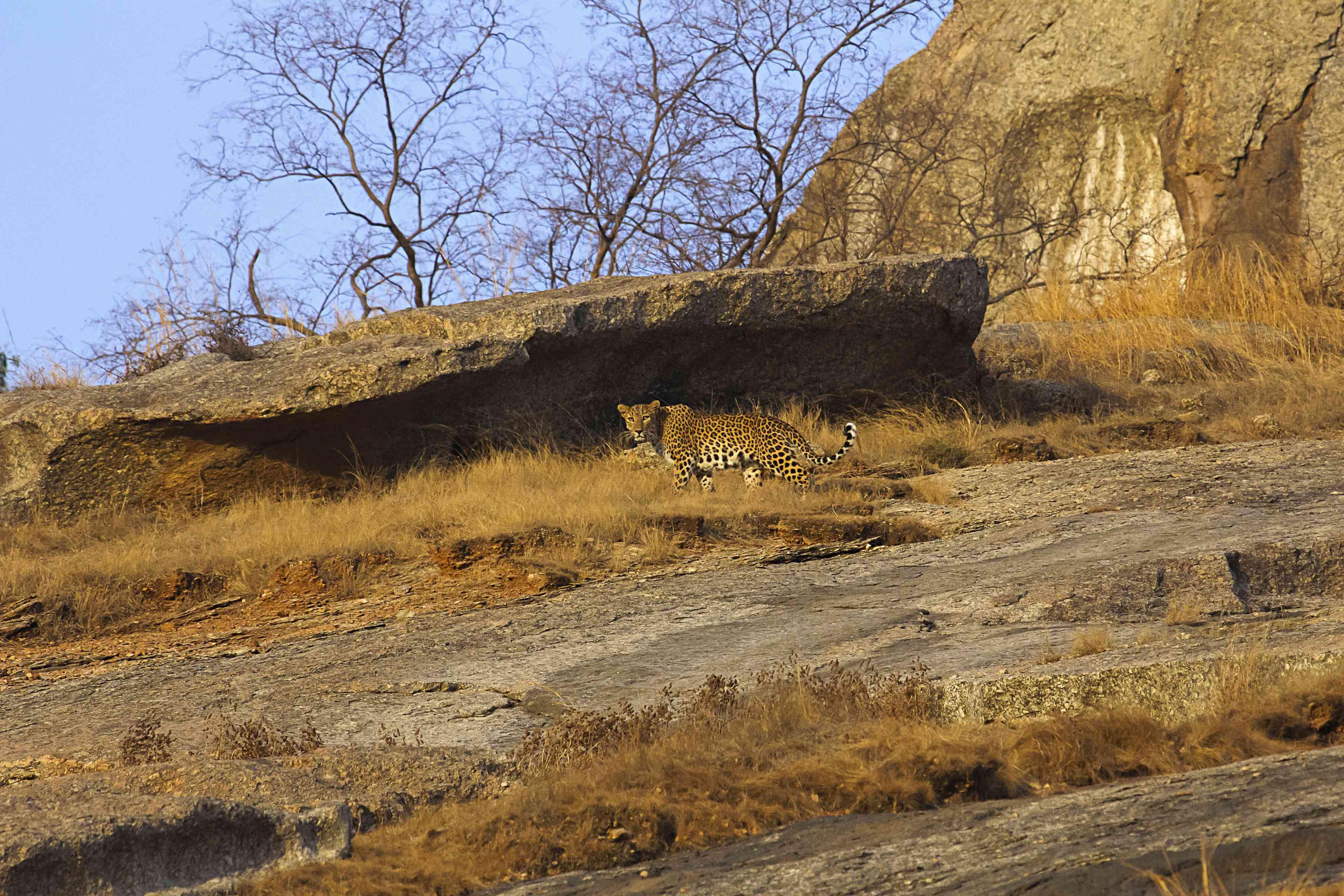 Bera, Rajasthan, leopard.