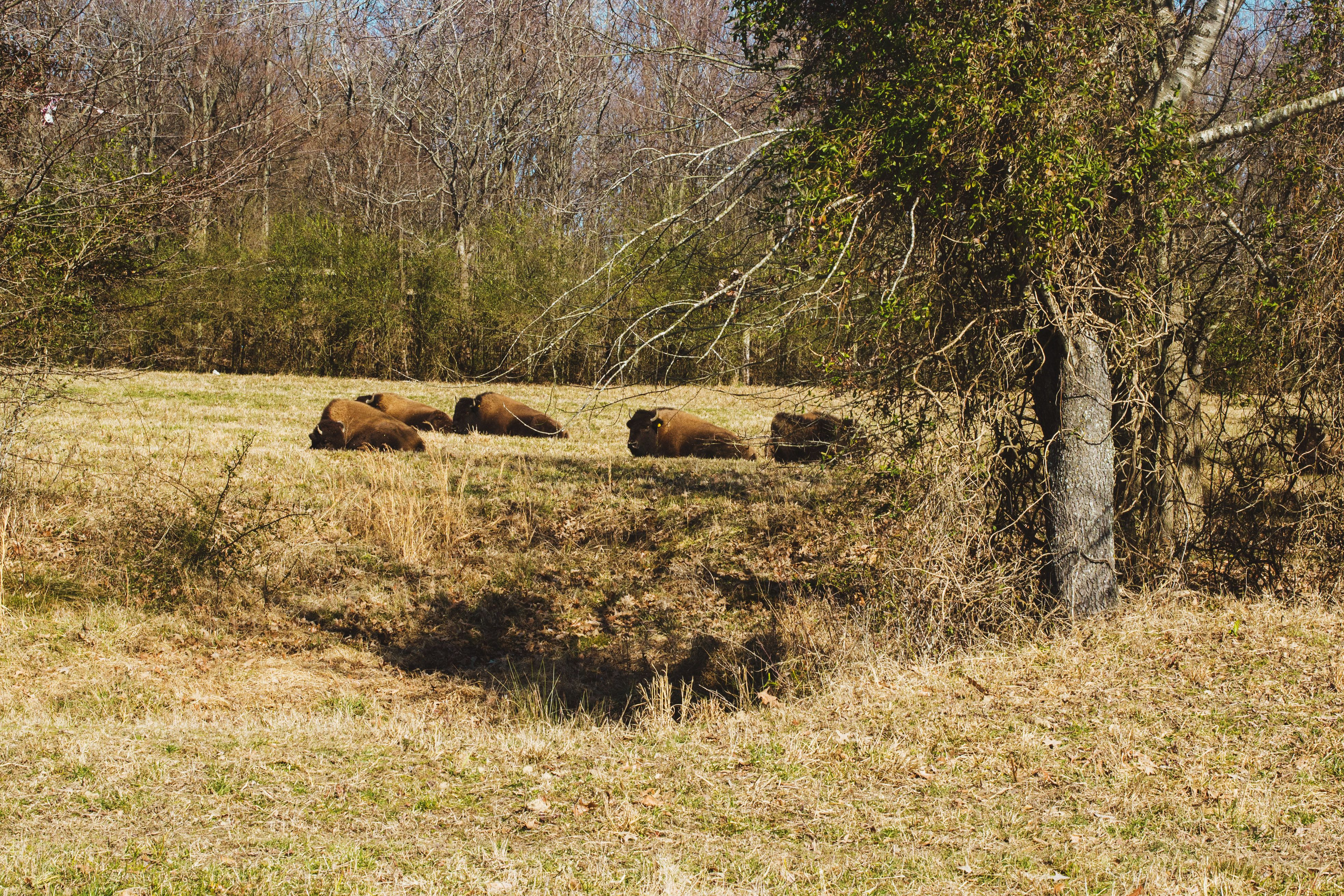 Bison at Shelby Farms in Memphis