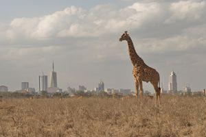 Giraffe Standing On Grassy Field Against City
