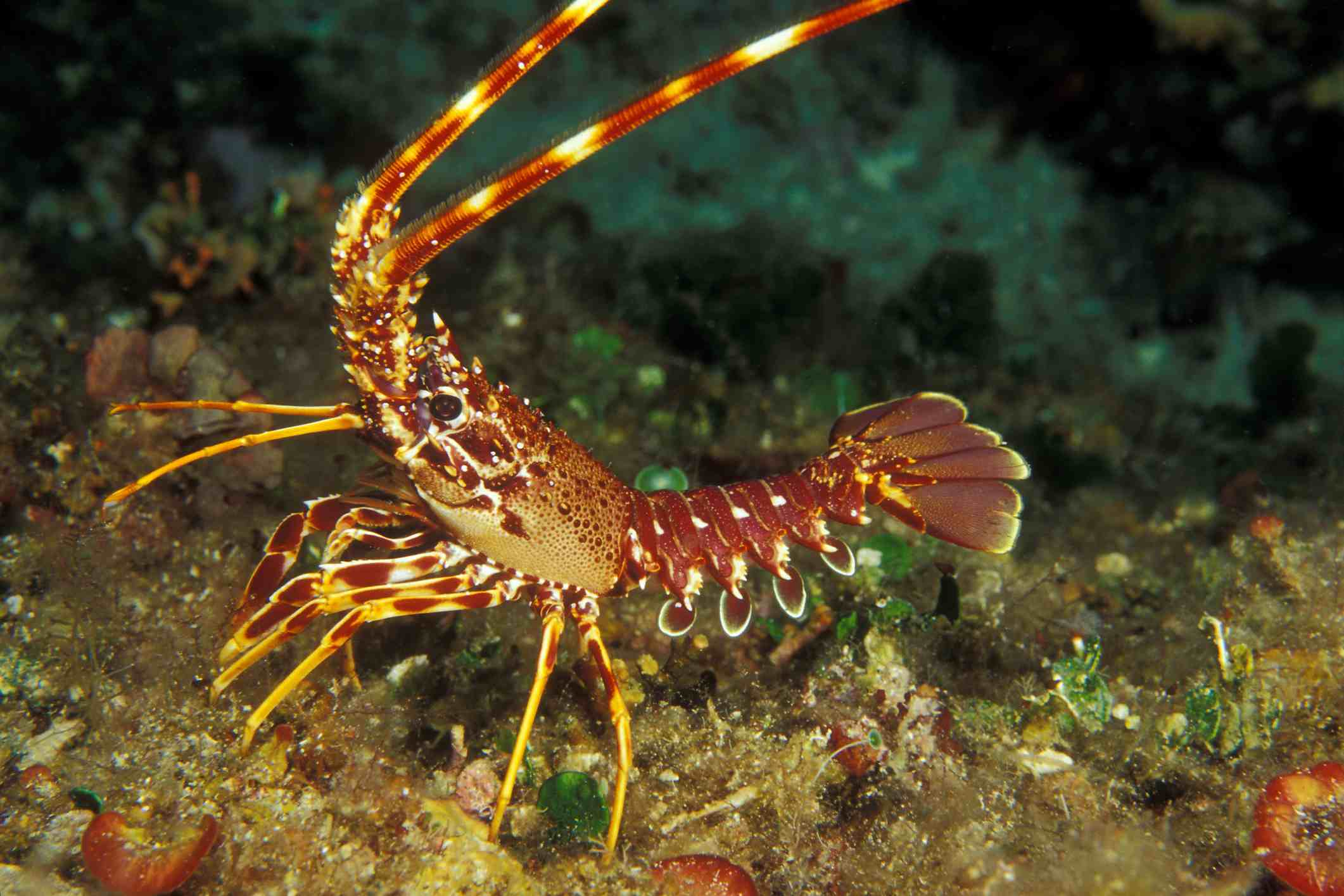 Dive for Spiny Lobster in San Diego