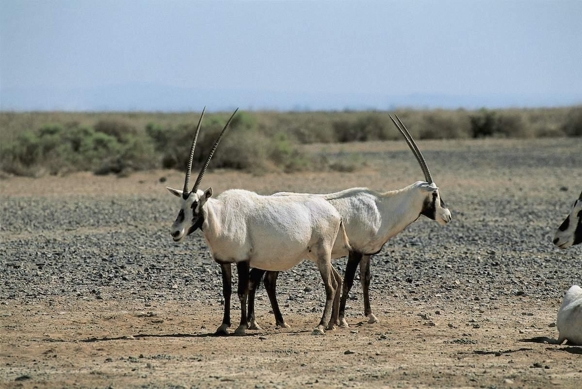 Shawmari Wildlife Reserve, Jordan