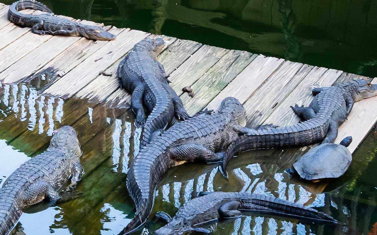 varios caimanes en el agua en el parque Aligator