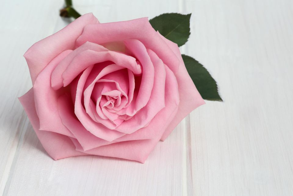 Valentine rose colors and their traditional meanings delicate pink rose on white wood grained mightylinksfo