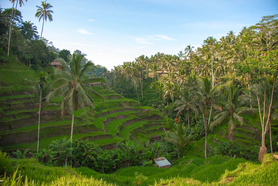 Bali landscape with palm trees and terraced hills.