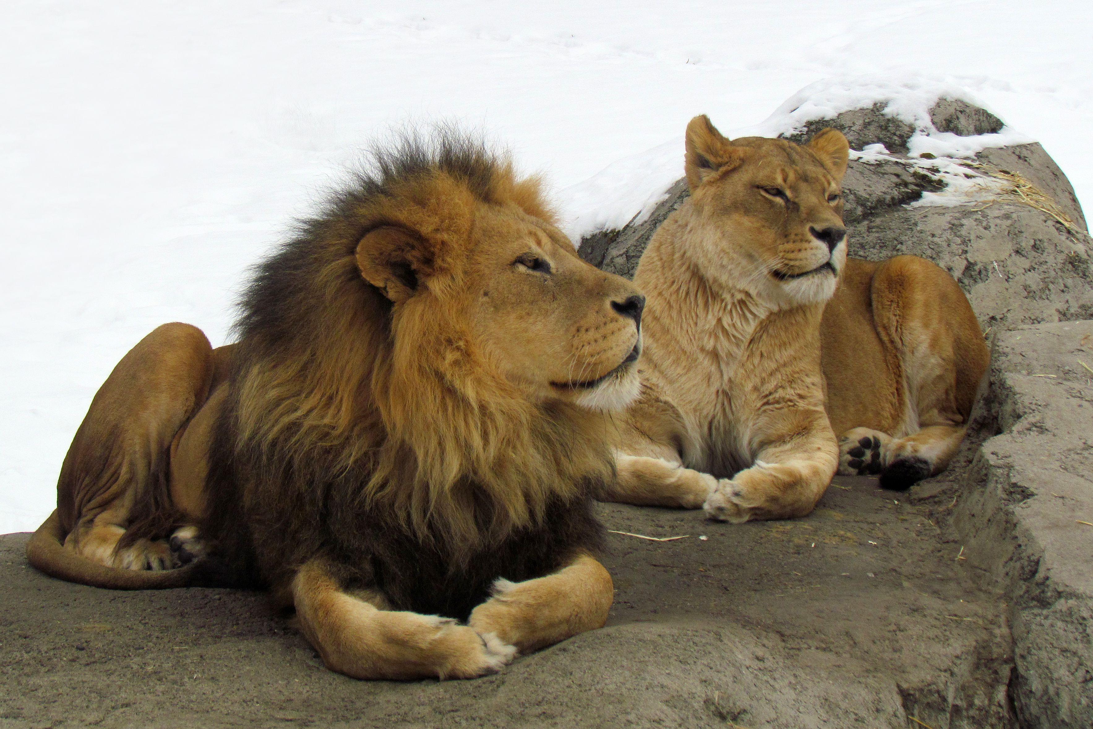 Pair of lions at Calgary Zoo