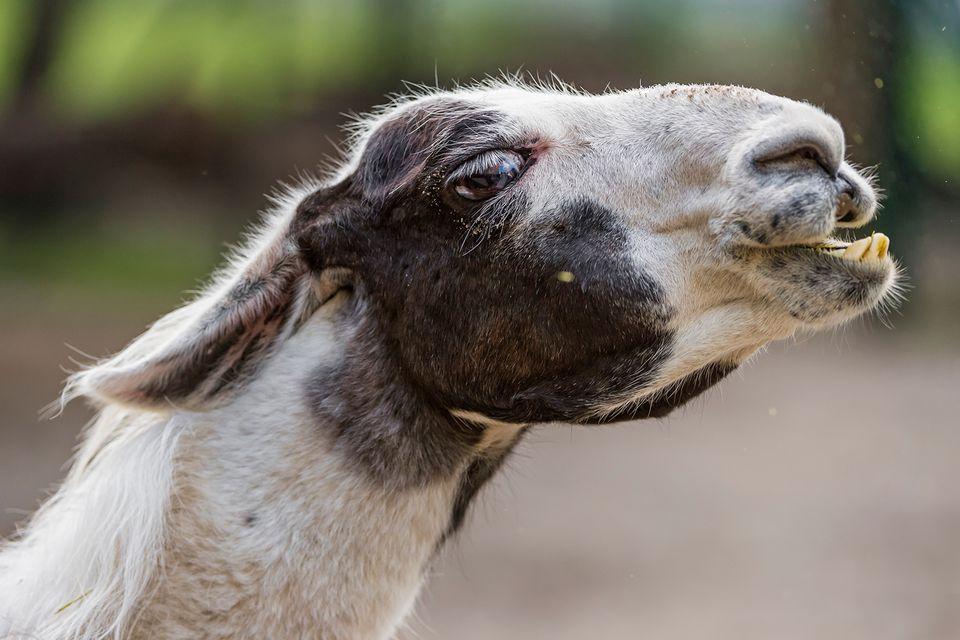 Llamas Spitting