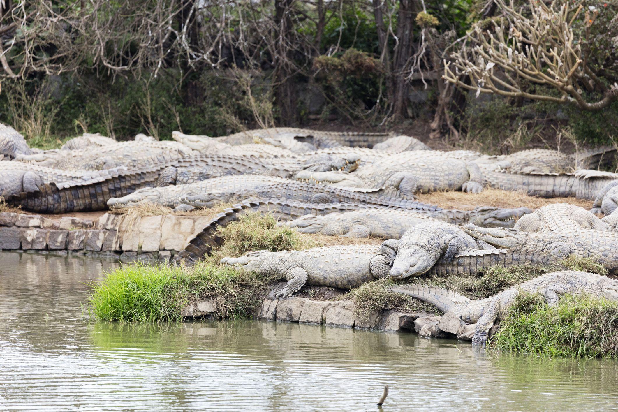 Nile crocodiles at Croc Farm in Antananarivo