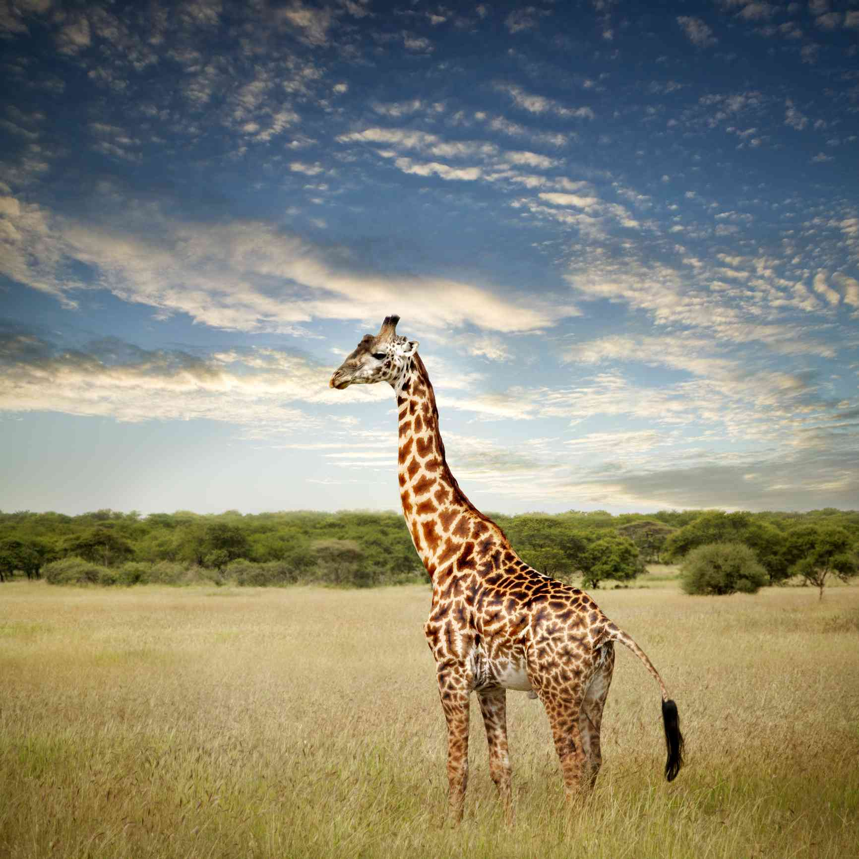 Giraffe on the Serengeti in Tanzania, Africa