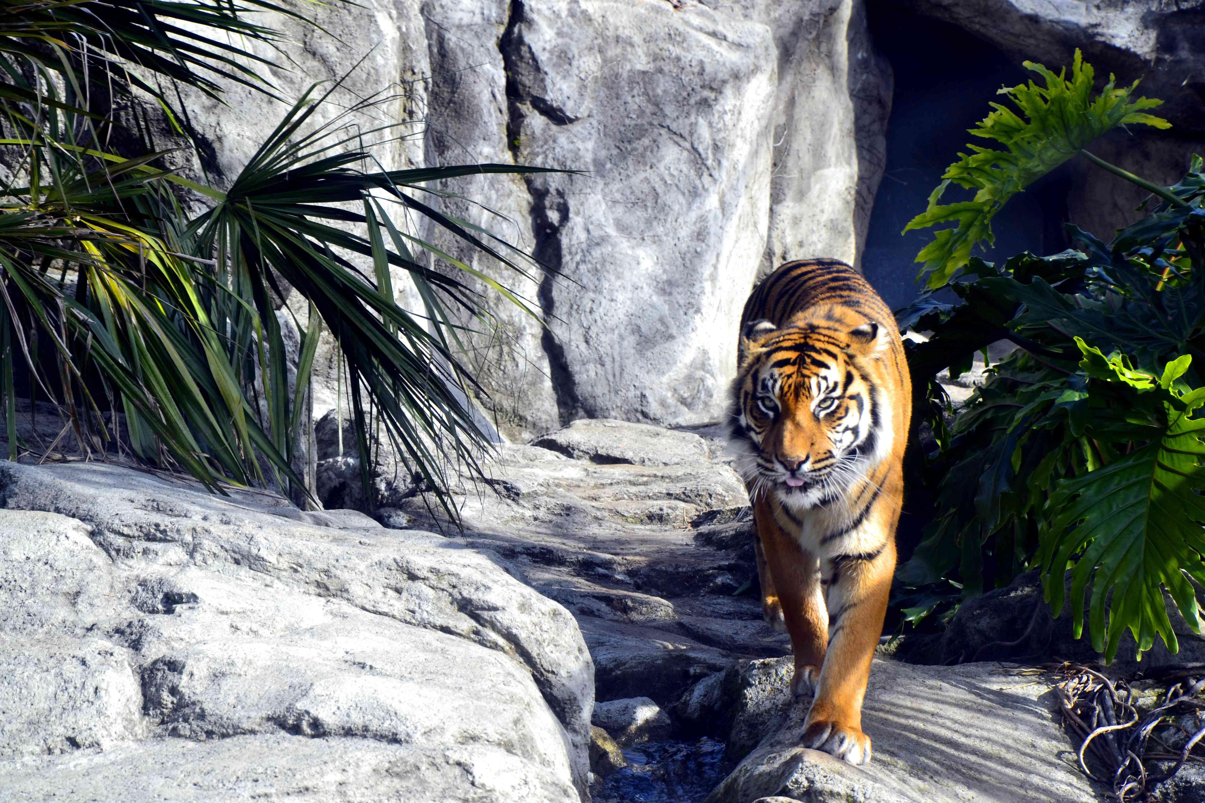 Retrato de tigre en el zoológico