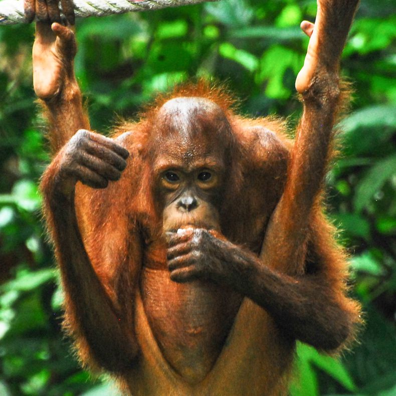 A baby orangutan hanging from a tree