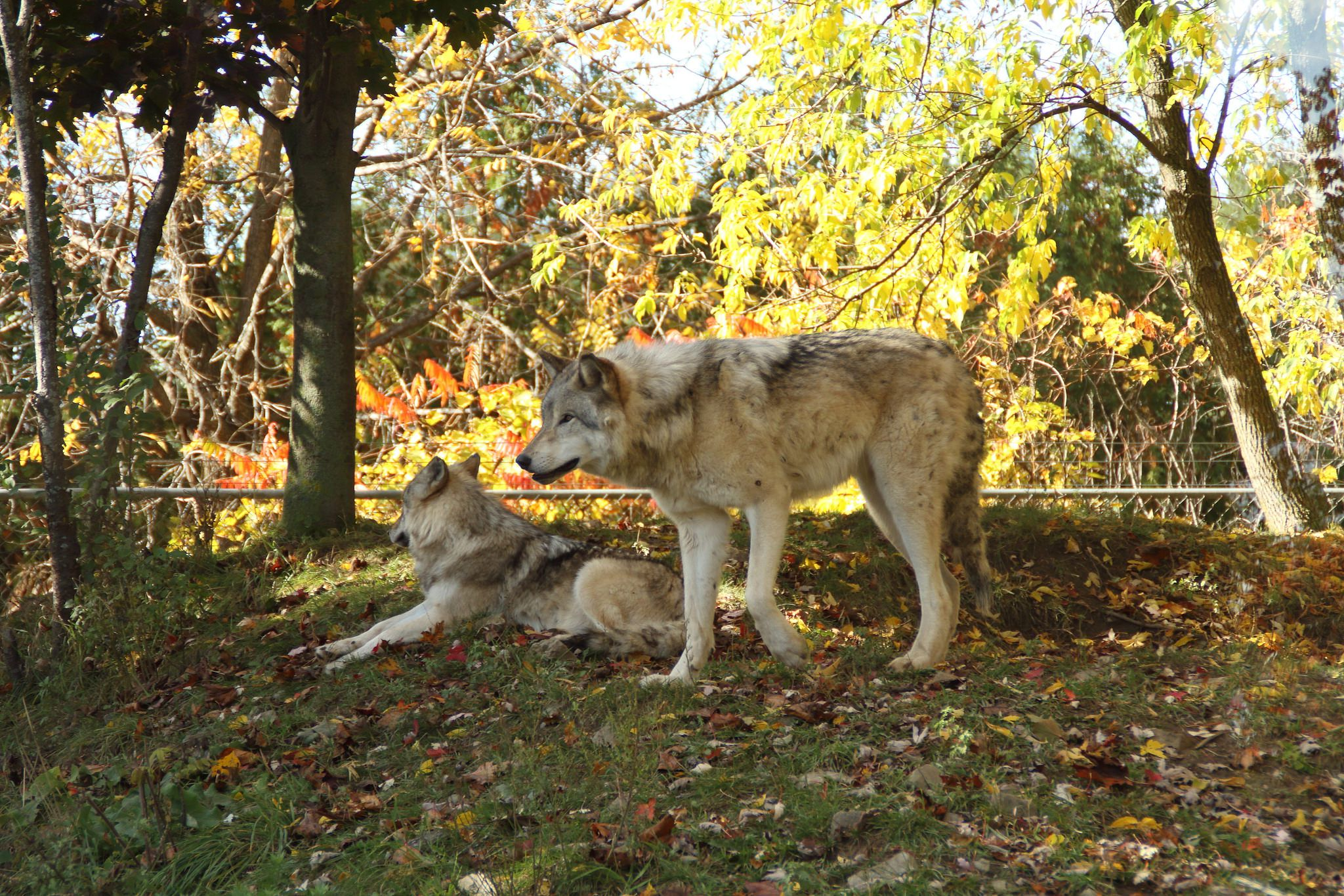 wolves at the Ecomuseum