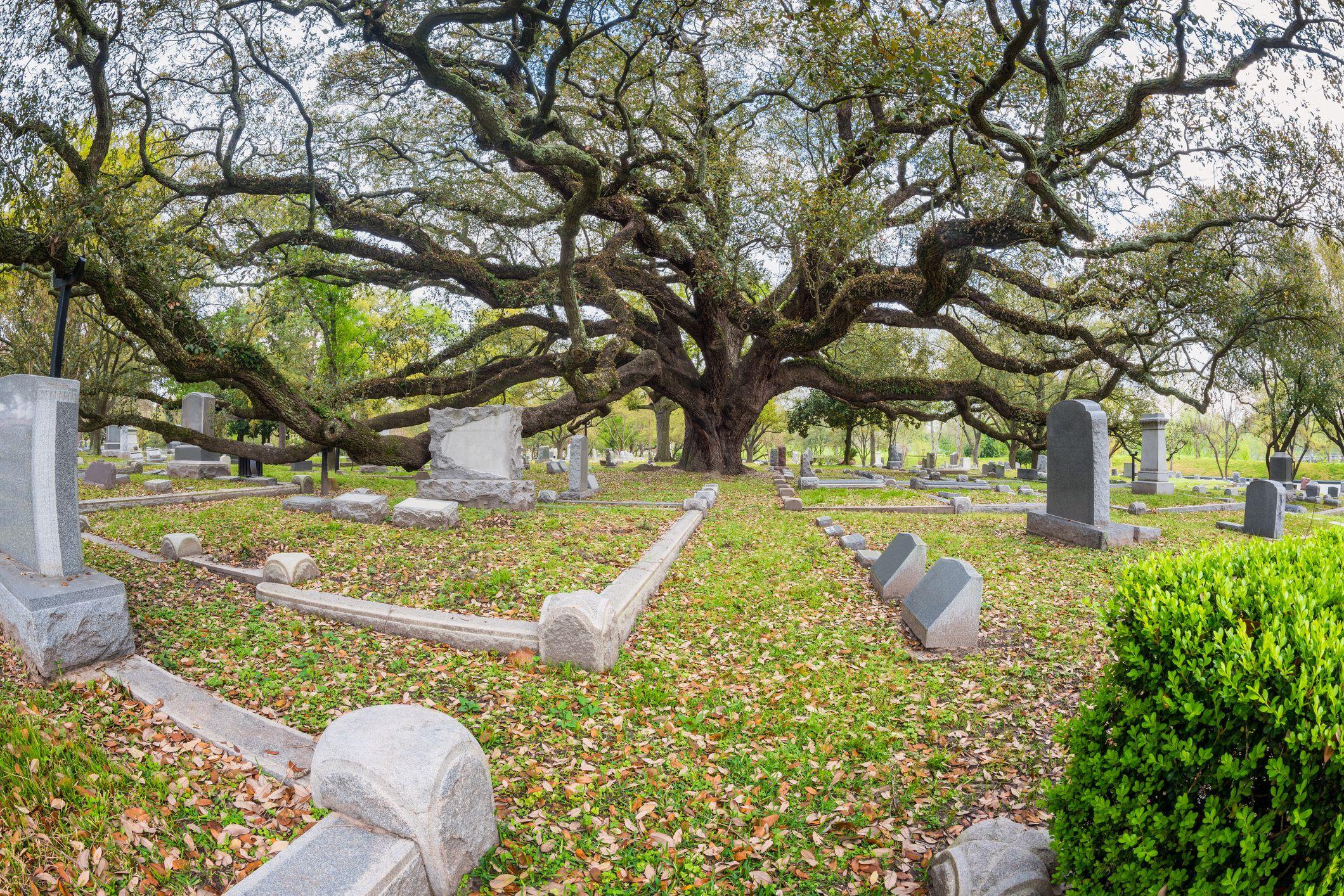 Giant Live Oak on Cemetery in Houston,Texas