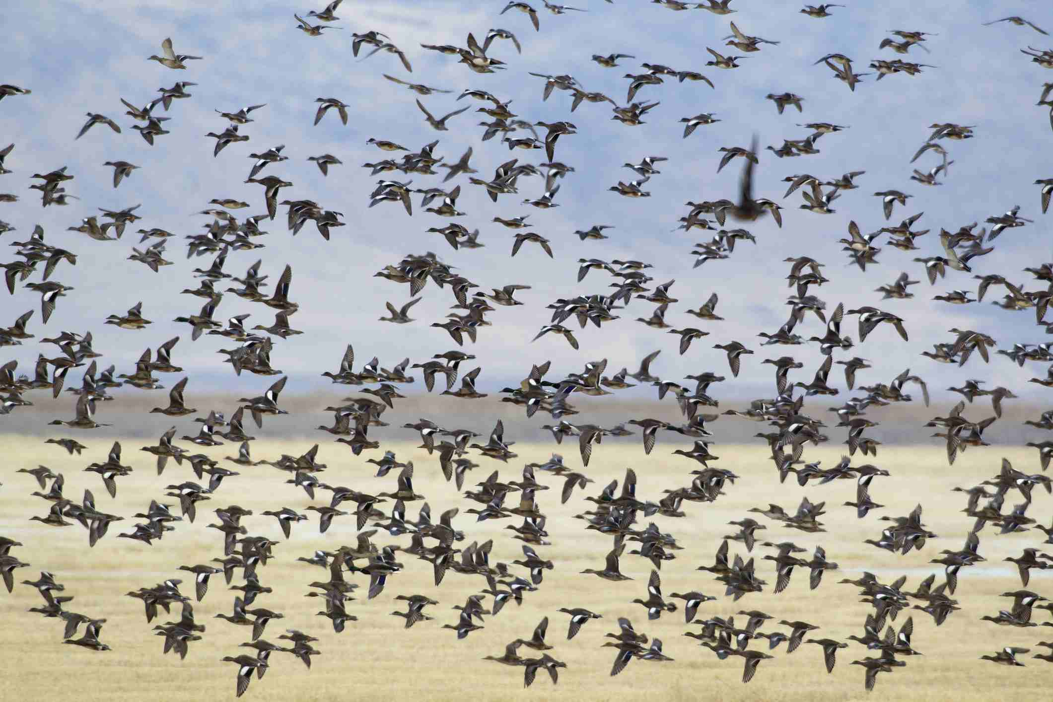 Migrating ducks and wigeons