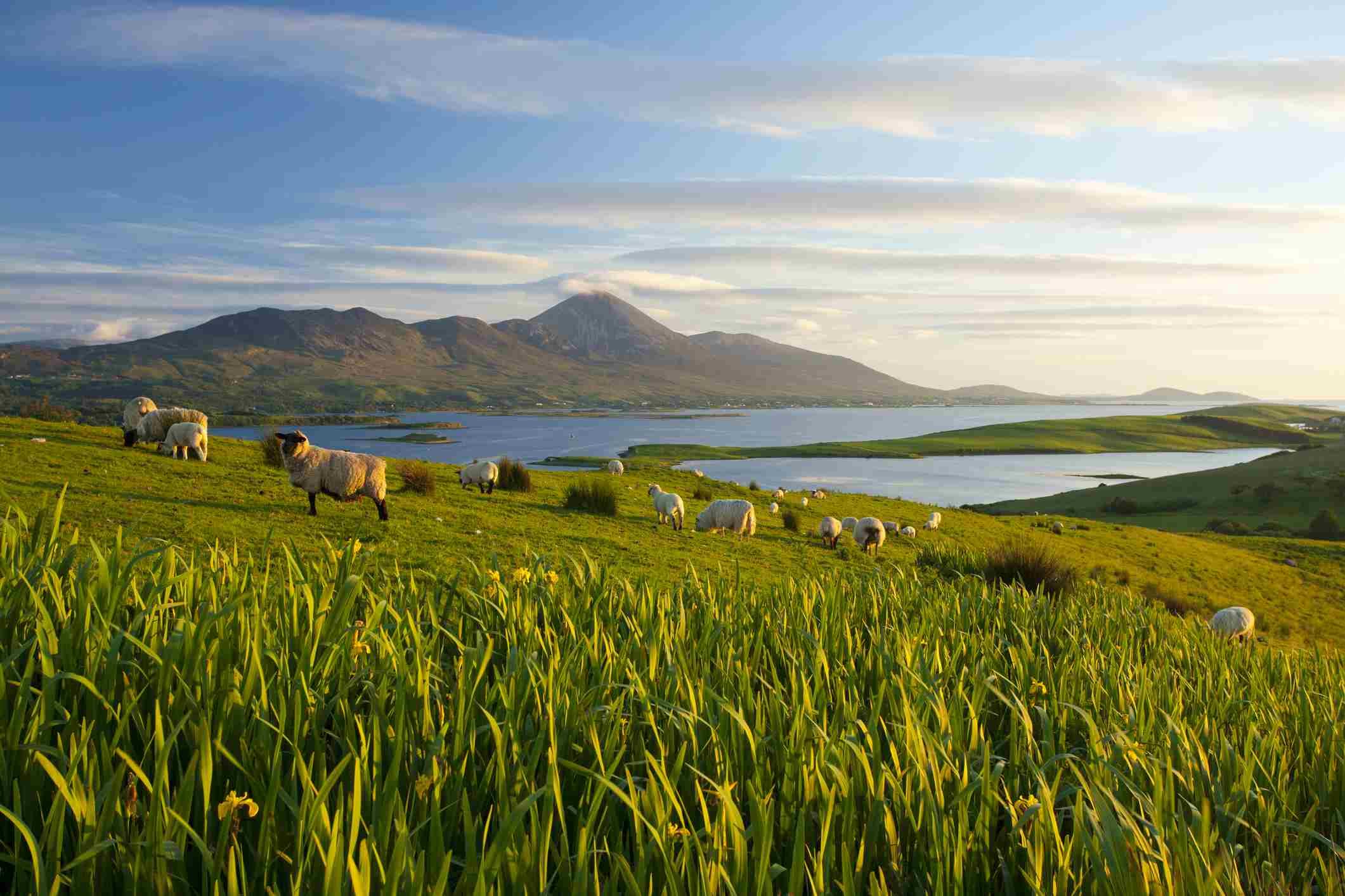 Sheep beneath Croagh Patrick, Mayo, Ireland