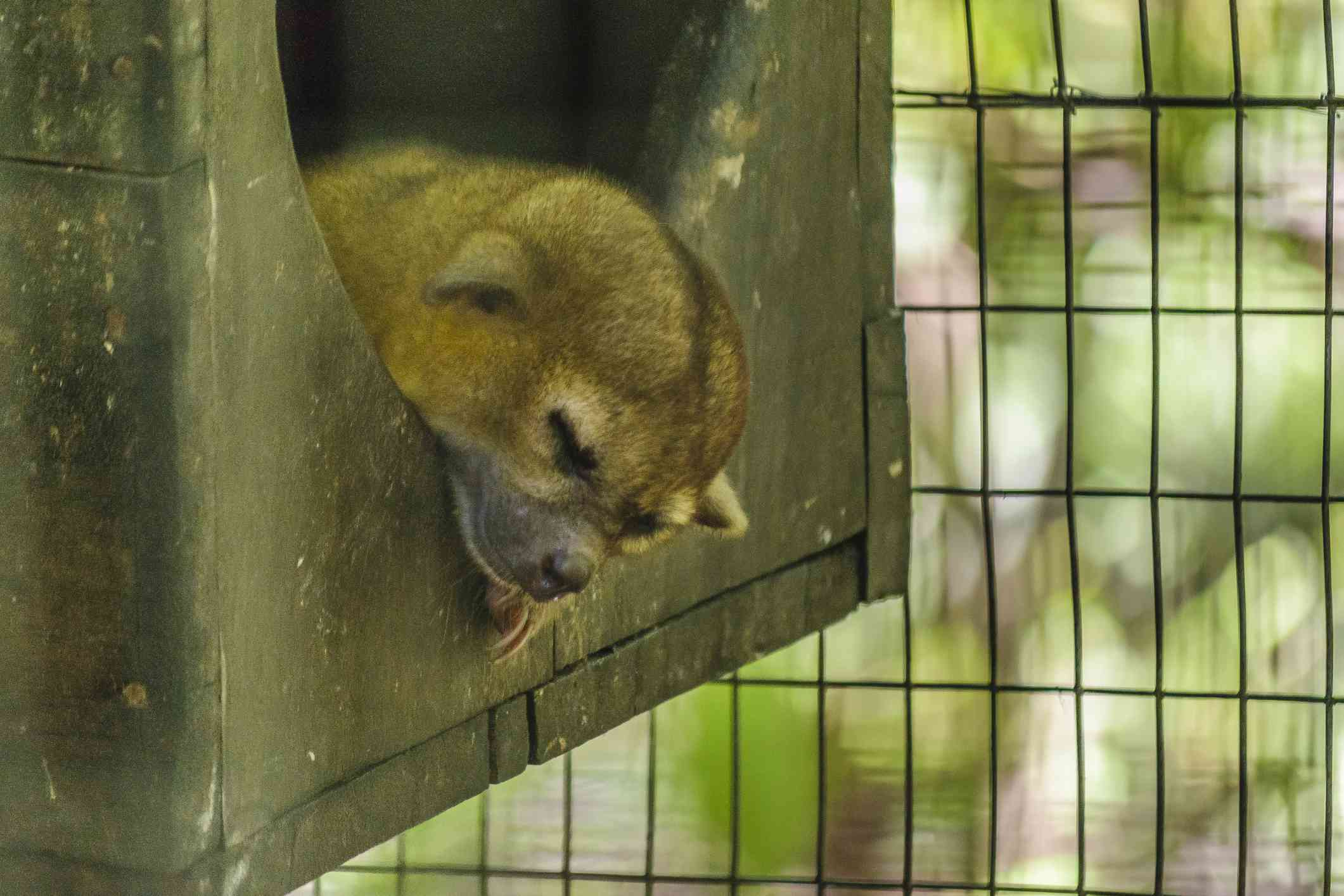 Young sloth at historic park in Guayaqui, Ecuador