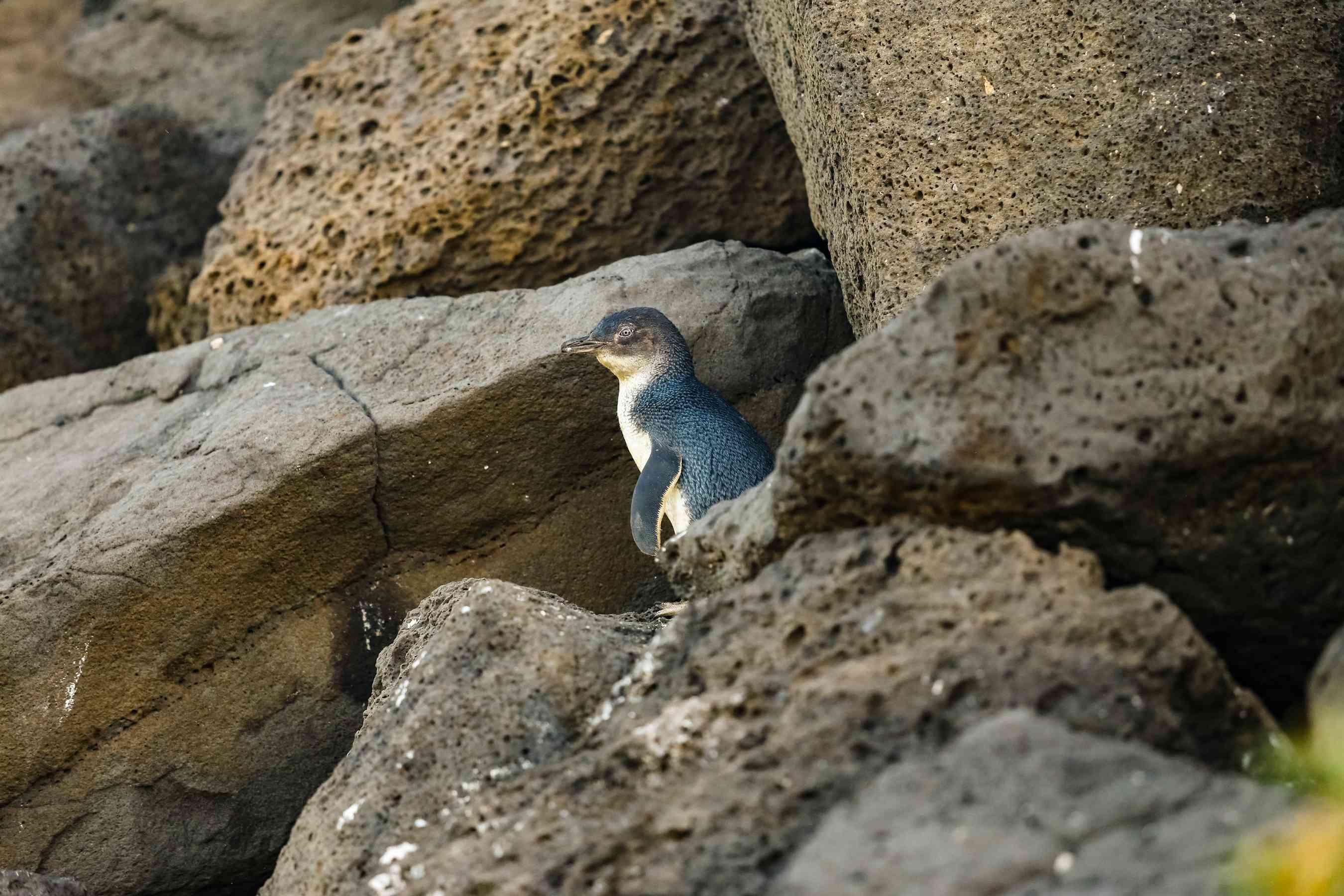 Un pingüino de hadas entre las rocas
