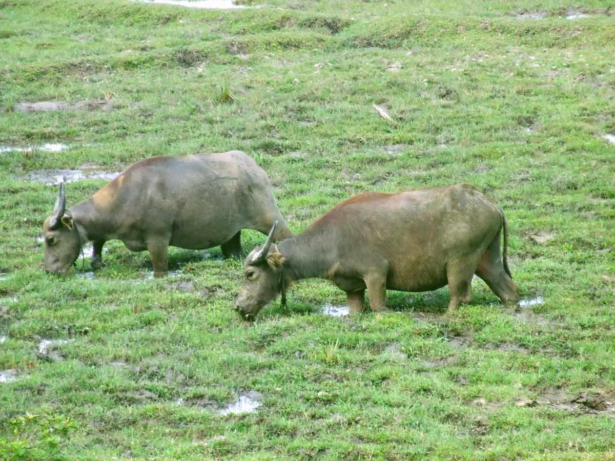 Grazing Water Buffalo in Chan May
