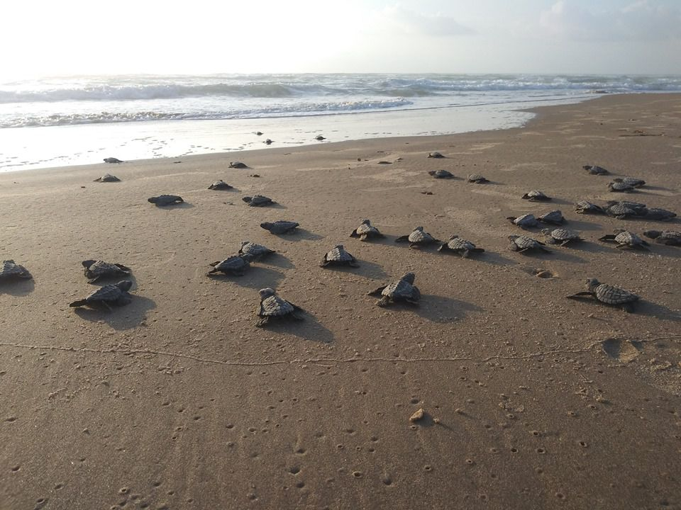 Hatchlings crawling into the Gulf.