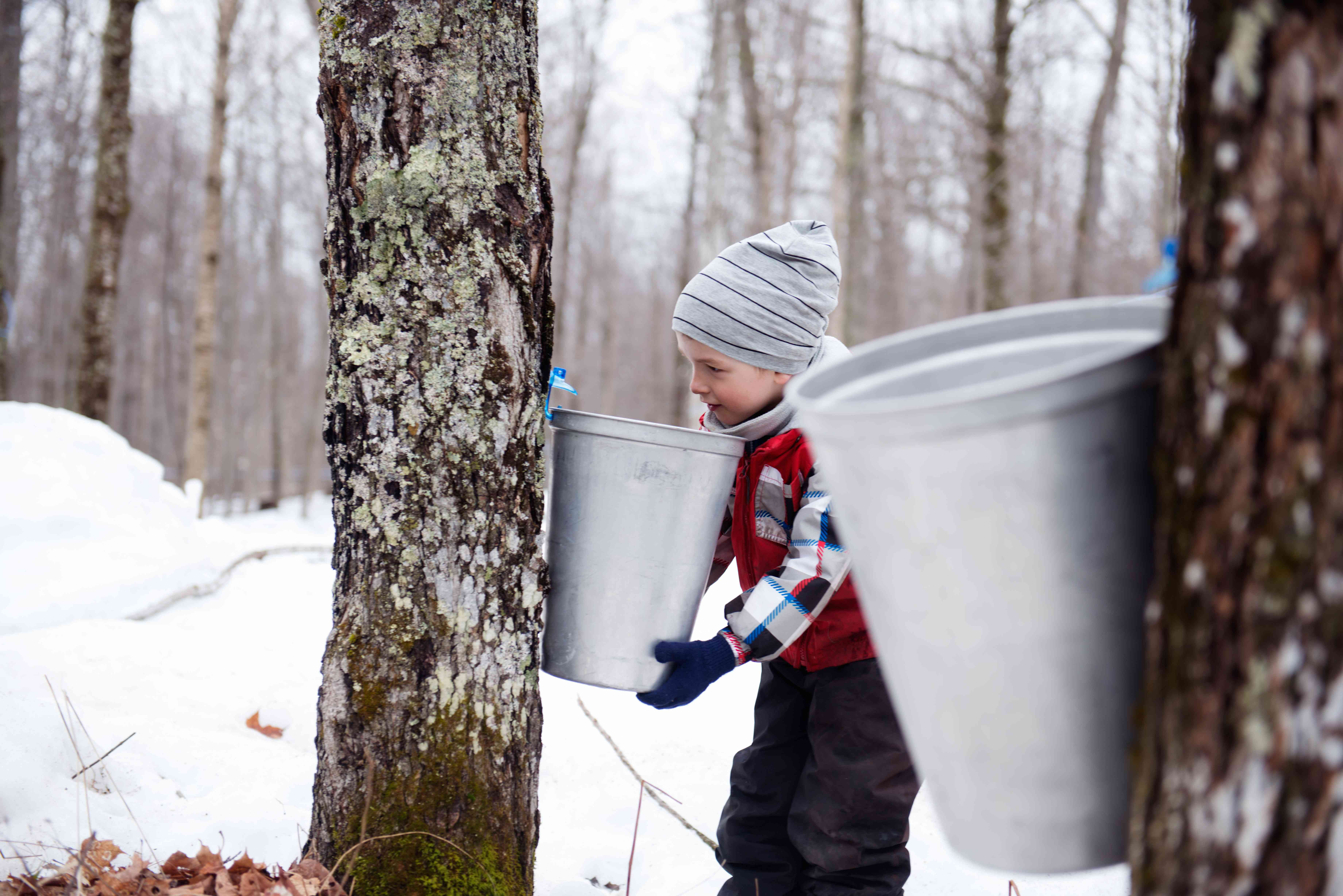 Child collecting maple syrup from tree in winter