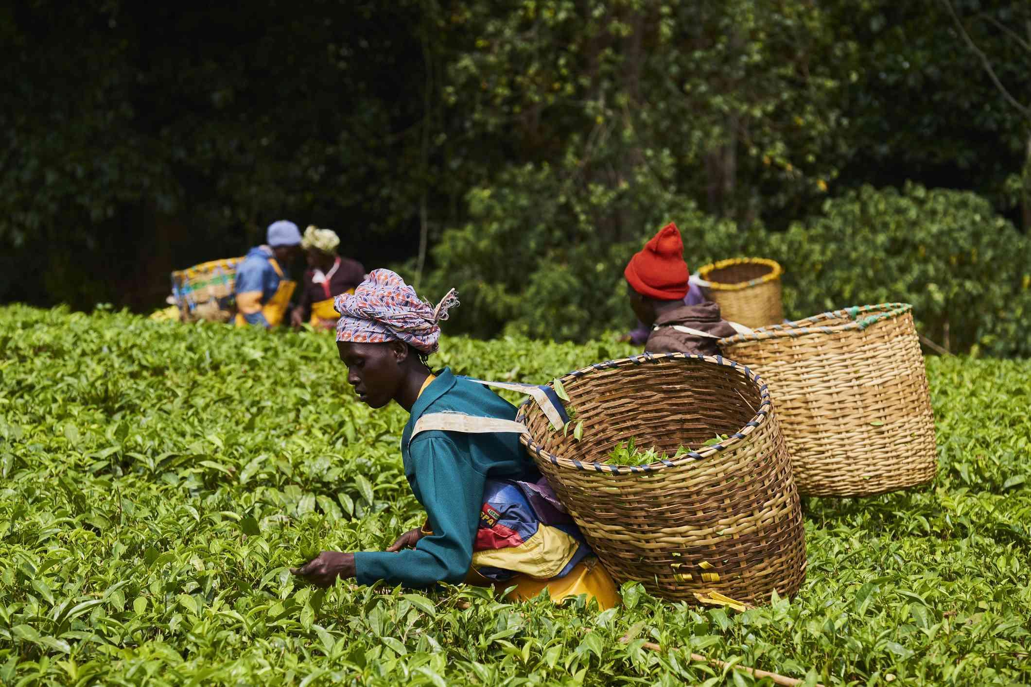 Kenyan women picking tea leaves