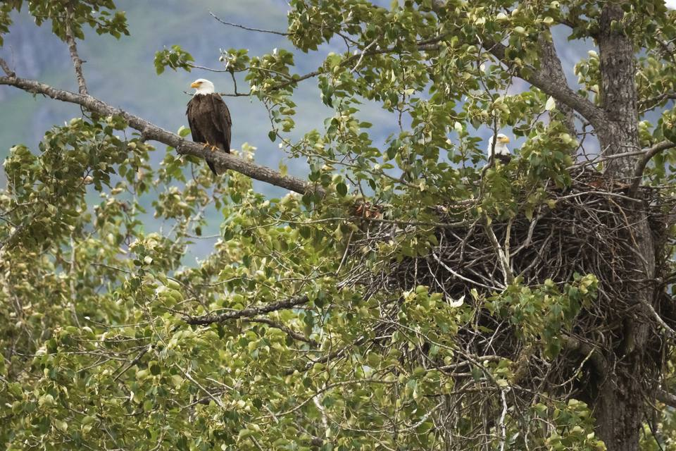 Bald Eagle Pair and Nest - Upper Chilkat River