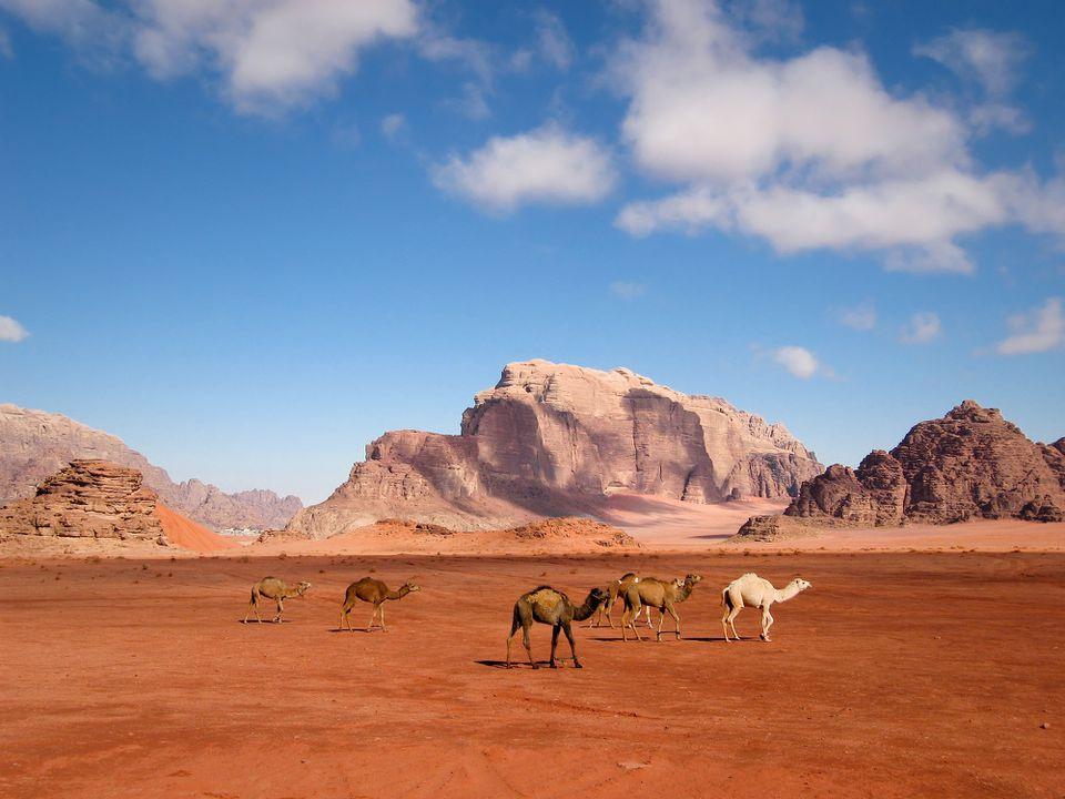 Camels walking through the desert