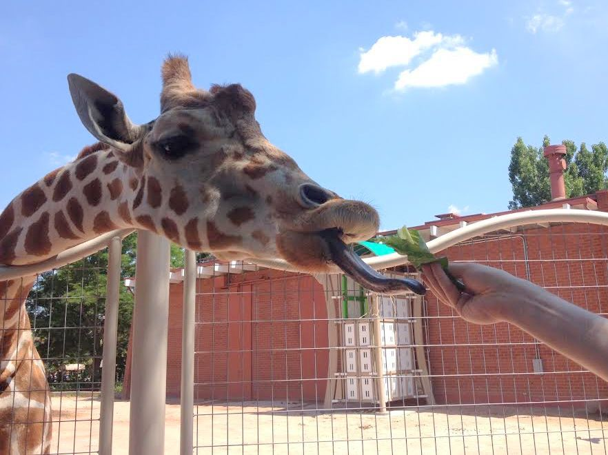 Alimentando jirafas en el zoológico de Denver