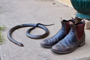 Snake next to hunting boots