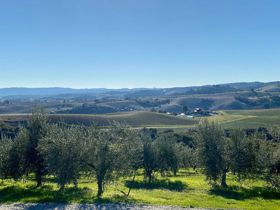 olive trees with rolling hills in the background on a cloudless day