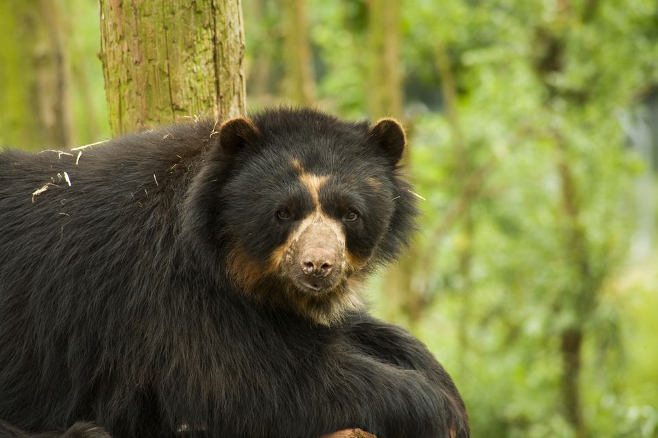 Spectacled Bear in South America