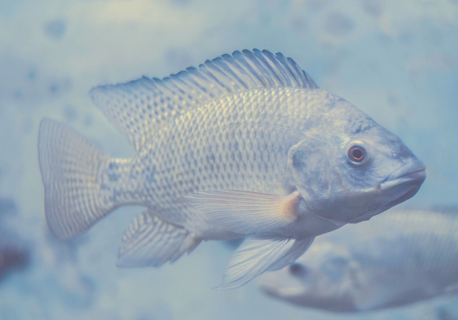 Tilapia swimming through blue water at Marco's Fish Farm, Curaçao.