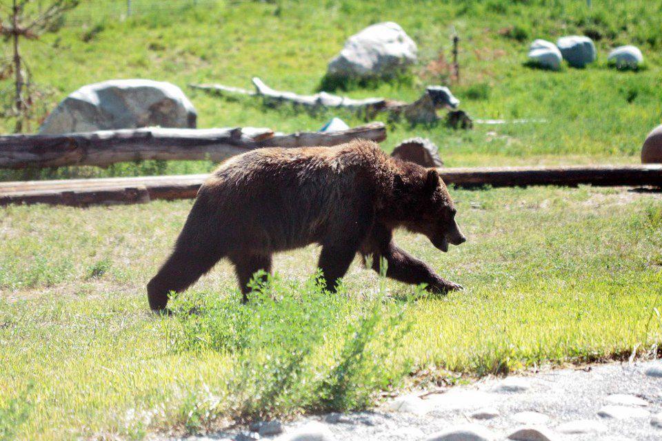 A bear at ZooMontana