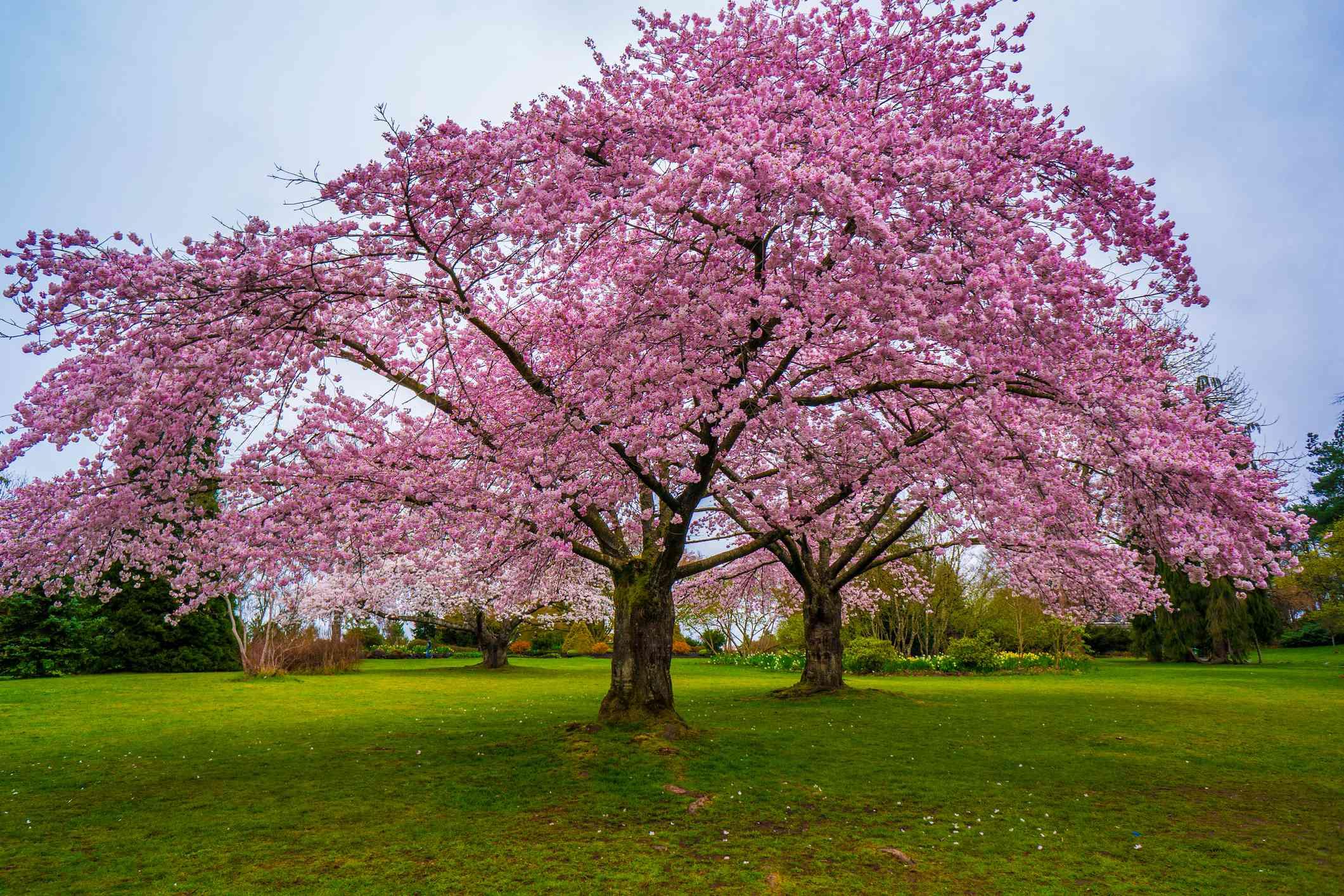 Cherry Blossoms in Queen Elizabeth Park, Vancouver